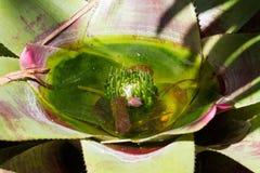 凤梨科接近的照片  宏观凤梨科,绿色叶子用水 免版税图库摄影
