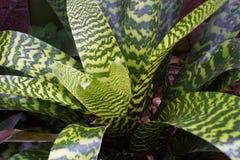 凤梨科植物和榕属接近的照片  Anchient植物 宏观凤梨科,绿色叶子用水 免版税库存图片