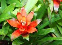 凤梨bromeliad comosus菠萝 库存照片
