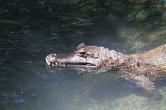 凯门鳄在水中 图库摄影