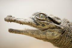 凯门鳄年轻人 库存图片