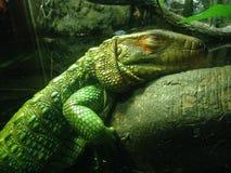凯门鳄蜥蜴 库存图片