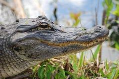 凯门鳄顶头迈阿密 库存图片