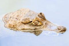 凯门鳄顶头涌现从浊水 免版税库存照片