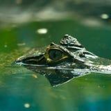 凯门鳄crocodilus 2 库存照片