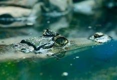 凯门鳄crocodilus 7 免版税图库摄影