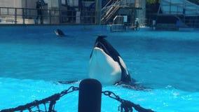 凶手在鼻子的一个鲸鱼平衡的圆盘 免版税库存照片