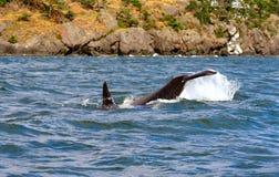 凶手尾标鲸鱼 免版税库存照片