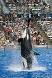 凶手执行者海运shamu鲸鱼世界 免版税库存照片