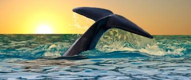 凶手日落尾标鲸鱼 免版税库存图片
