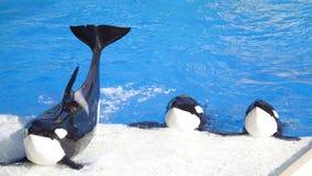 凶手海怪执行三条鲸鱼 库存照片