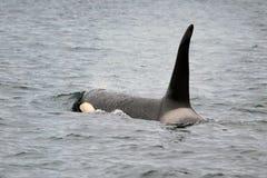 凶手海怪鲸鱼 免版税库存照片