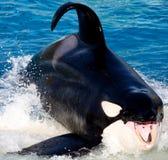 凶手纵向鲸鱼 免版税库存图片
