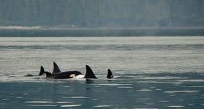 凶手荚鲸鱼 库存图片