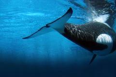 凶手水下的鲸鱼 库存照片