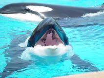 凶手嘴开放鲸鱼 免版税库存照片