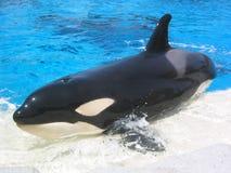 凶手sunbath鲸鱼 免版税图库摄影