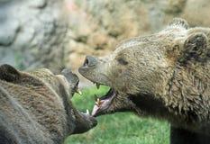 凶猛熊与强大叮咬和打击奋斗嘴o 库存图片