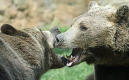 凶猛熊与强有力的射击奋斗并且打开下颌叮咬 库存图片