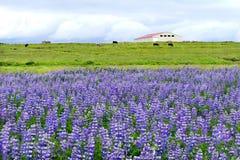 凶猛领域在冰岛 库存照片