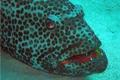 凶眼产生石斑鱼我们 免版税库存图片