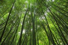 出于对上面考虑的竹森林 免版税库存图片