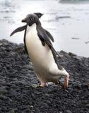 从水出来的Adelie企鹅在南极洲 免版税图库摄影