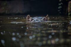 出现从水中的河马 免版税库存图片