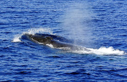 出现的长须鲸(鲸属physalus) 免版税库存照片