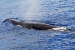 出现的长须鲸(鲸属physalus) 免版税图库摄影