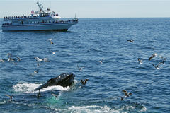 出现的鲸鱼 图库摄影