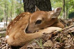 出生新的白尾鹿 图库摄影