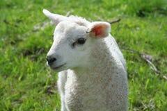 出生羊羔最近 免版税库存图片