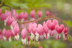 出血荷包牡丹属植物重点 免版税图库摄影