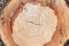 击倒的树干 杨柳,关闭 粗砺木背景的木头 免版税库存照片