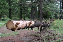 击倒的树干 免版税库存照片