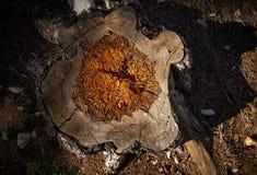 击倒的树腐烂由蚀船虫和湿气 免版税库存照片