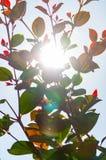 击穿通过增长的分支的阳光光芒有很多年轻叶子 免版税库存照片