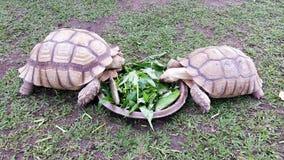 分享一顿膳食的两只大土地草龟在普吉岛,泰国 免版税图库摄影