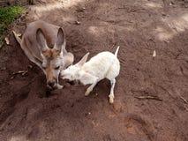 分享在领域的袋鼠一棵三叶草 库存照片
