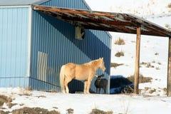 分享她的食物的Palamino母马与长耳鹿顽抗 免版税库存图片