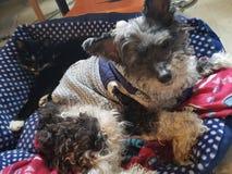 分享床的狗和猫 库存照片