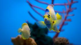 分享水族馆的女王/王后和黄色神仙鱼 免版税库存图片