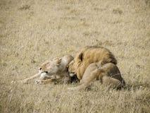 分享热情的片刻的狮子夫妇 免版税库存照片