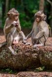 分享食物的两只幼小短尾猿猴子在柬埔寨 免版税图库摄影
