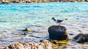分享食物,婴孩海滩,阿鲁巴的两只鸟 库存图片