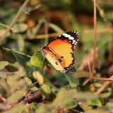 分发一只美丽的蝴蝶 库存图片