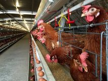 分层堆积农厂住房、蛋孵卵站或者鸡鸡蛋 库存照片