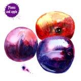 分开的果子 红色苹果和蓝色李子在白色背景 库存例证