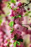 分支与与绿色叶子的桃红色花 免版税图库摄影